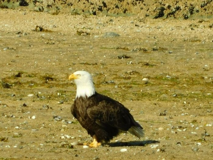 Alaskan Nature Alaska Katmai National Park Bird Animal Animal Themes Vertebrate Animals In The Wild Animal Wildlife One Animal Bird Of Prey Nature Sunlight Day Eagle No People High Angle View Land Eagle - Bird Perching Water Outdoors