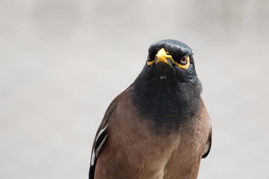 Common myna Bird Close-up Myna Nature No People One Animal Outdoors