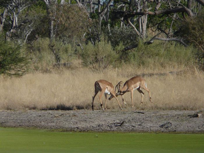 Animal Themes Animals In The Wild Antelope Botswana Day Impala Impala Sparring Male Impala Mammal Nature No People Outdoors Safari Animals Scenics Travel Destinations Africa The Great Outdoors - 2017 EyeEm Awards EyeEmNewHere