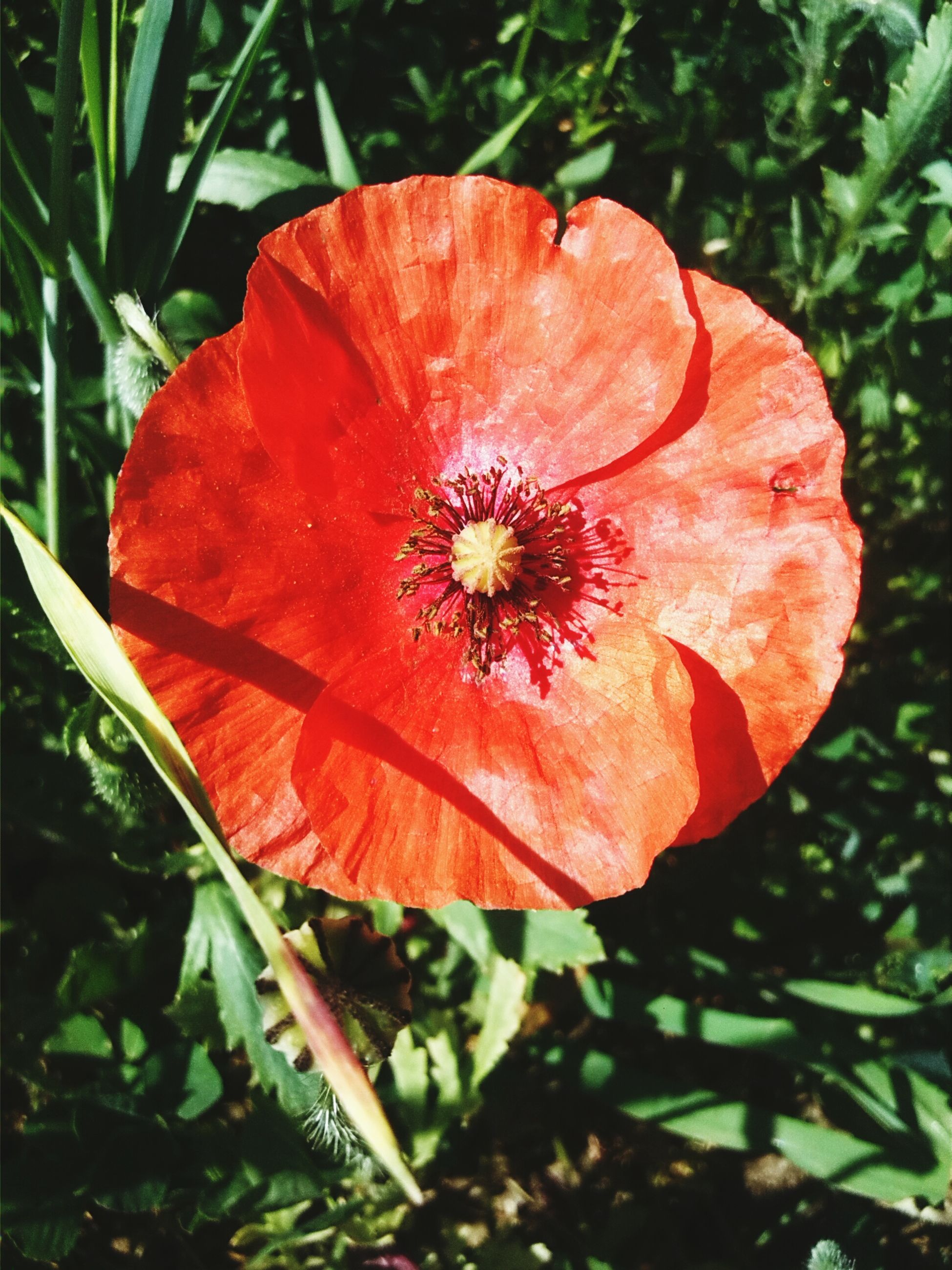 flower, freshness, petal, flower head, fragility, single flower, growth, red, beauty in nature, stamen, close-up, pollen, nature, hibiscus, plant, blooming, orange color, poppy, in bloom, high angle view