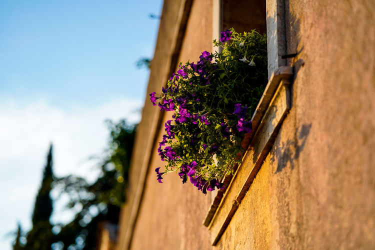Low angle view of purple flowering plants on building