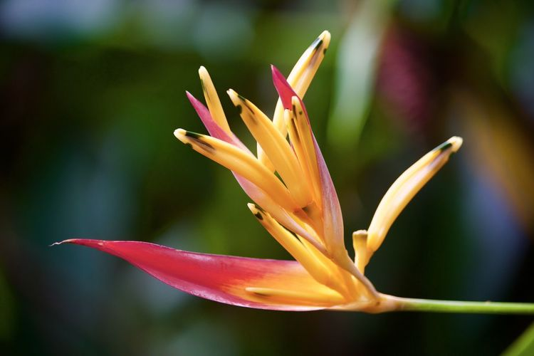 Bird Of Paradise - Plant Plant Flower Fragility Petal Flowering Plant Beauty In Nature Freshness Close-up Inflorescence Vulnerability  Flower Head Focus On Foreground Nature Yellow Red Orange Day Outdoors Growth No People