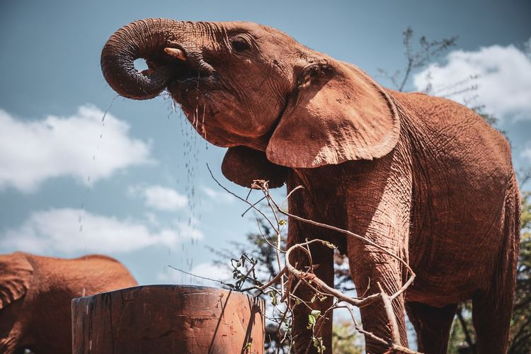 Mammal Animal Animal Themes Vertebrate Sky Domestic Animals One Animal Domestic Pets Nature Cloud - Sky Animal Wildlife No People Day Brown Animal Body Part Animals In The Wild Livestock Elephant Outdoors Herbivorous Animal Head  Africa African Elephant Nairobi