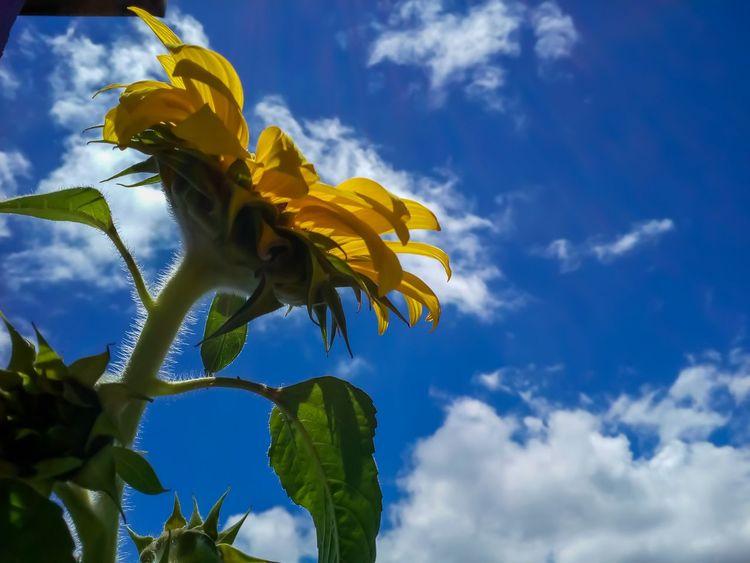 Nature Beauty In Nature Flowers EyeEm Sunflowers🌻 Girassol
