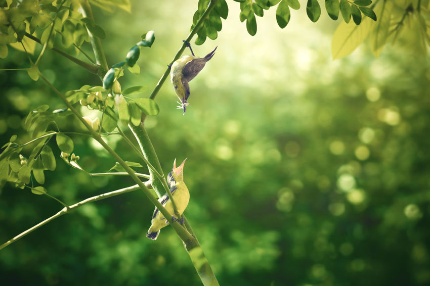 The love of mother and baby (Olive-backed sunbird). Mother bird feeds food to her baby. Baby Feeding  Feeding Animals Green Life Love Mother Natural Nature New Life Olive-backed Sunbird Animal Bird Birds Child Day Forest Garden Growth Leaf Nature Outdoors Plant Sunbird Wildlife