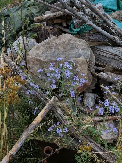 Beauty can show up even in piles of rubbish. Flowers,Plants & Garden Outdoors Nature Fragility Nature From My Point Of View Idahobeauty Plant Sandpoint Yard Foilage