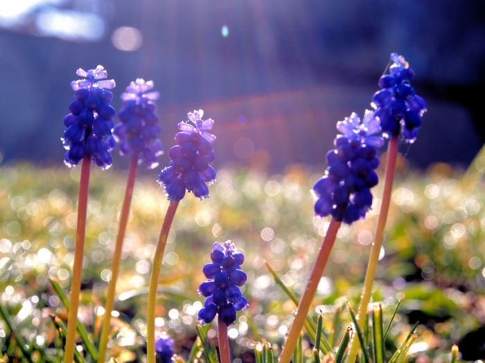 jacinthe muscari flower Flower Flowering Plant Plant Freshness Growth Fragility Close-up Vulnerability  Beauty In Nature Nature Plant Stem Focus On Foreground Purple No People Field Petal Inflorescence Selective Focus Flower Head Day