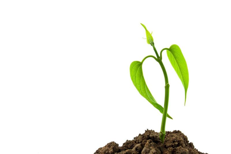 Plant Growth Plant Leaf Nature Green Color Botany New Life Planting Sapling Studio Shot Close-up White Background No People Cultivated Fragility Tree Beauty In Nature Day concept Herb Nature Tree Growth