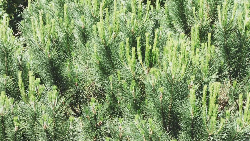 Full Frame Backgrounds Nature Close-up Pine Tree Detail Pine Tree Pine Tree Branch Background Green Color Green