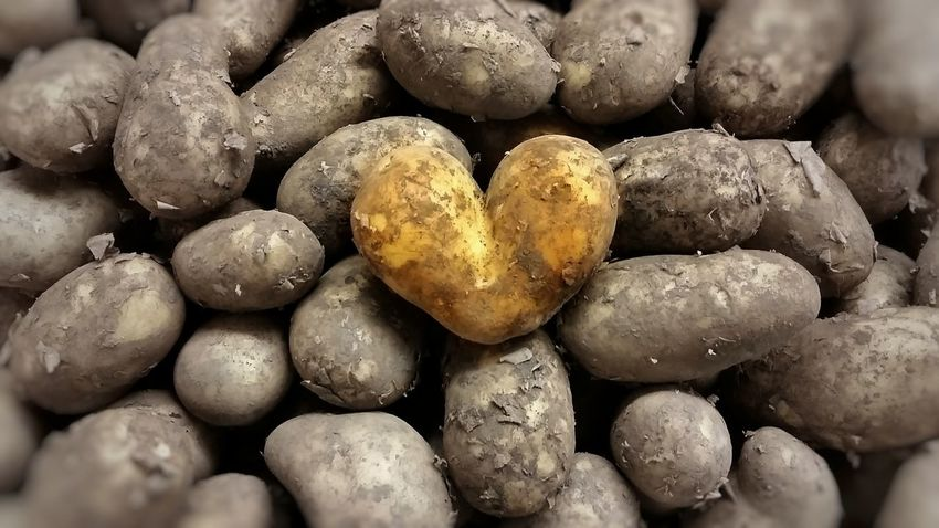 "💛 ""In a world of mediocrity Stand Out From The Crowd"" 💛 Heart Shaped Potato Potatoes Digging For Gold 43 Golden Moments Striving For Excellence ...I'm off to Edinburgh for a few days. Back soon, thanks for your support my friends. 🙋💫 Paint The Town Yellow"