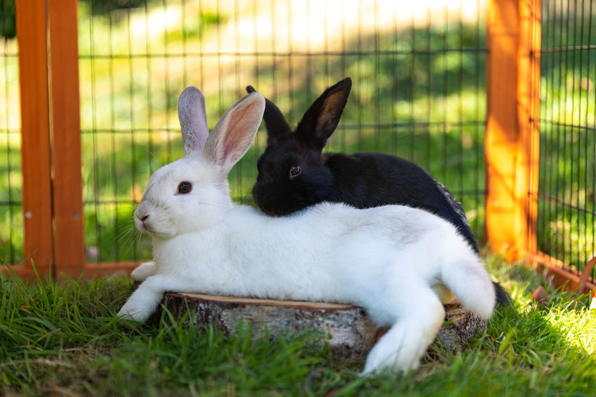 Black and white Rabbit grooming and relaxing in an outdoor hutch. Mammal Animal Themes Animal Pets Rabbit - Animal Domestic Domestic Animals Rabbit No People Animal Wildlife Herbivorous Pet Rabbit Pet Rabbits Rabbits White Rabbit Black Rabbit Pet Photography  Animal Photography Nature Domesticated