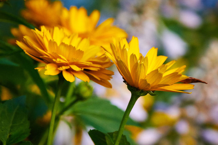 Beautiful Nature Beauty In Nature Blooming Blossom Botany Close-up Colorful Flower Flower Head Flowers,Plants & Garden Freshness Growth Macro Nature Naturelovers No People Petal Yellow