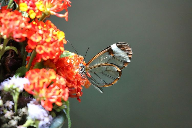 Close-up of greta oto butterfly pollinating on orange lantana camara