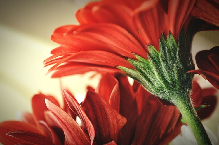 Daisies Red Daisies Red Petals Red Flower Red Flowers Flowers Flower Head Flowerporn Flower Stem Green Stems Macro Photography Indoor Photography Artificial Light Nature Nature Photography EyeEm Nature Lover Nikon D3200