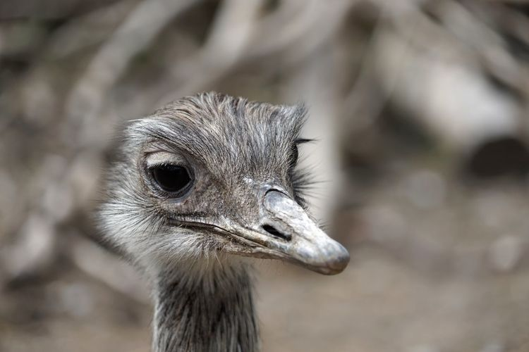 Close-up of ostrich chick looking away