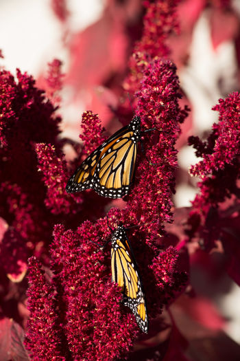 Close-up of monarch butterflies on pink amaranth flowers