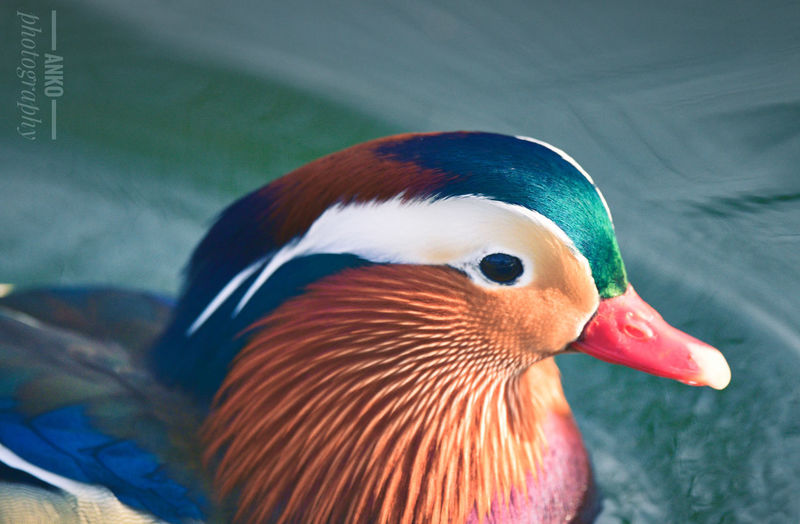 Close-up of duck in water