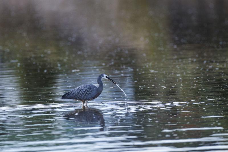 Heron in water