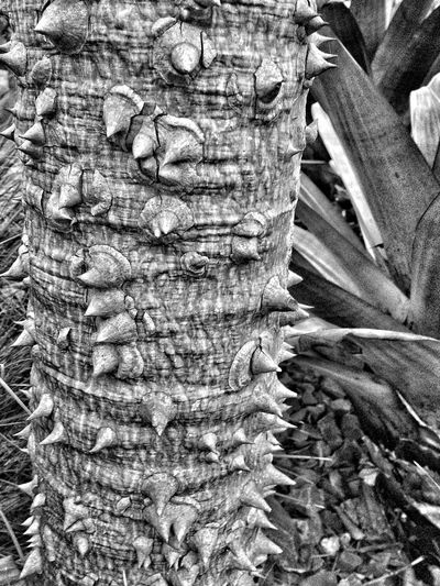 Natural Beauty Bark Black & White Botanical Gardens Exotic Nature Trees Closeup One of the exotic dry-climate trees at Guilfoyle's Volcano (Royal Botanical Gardens, Melbourne)
