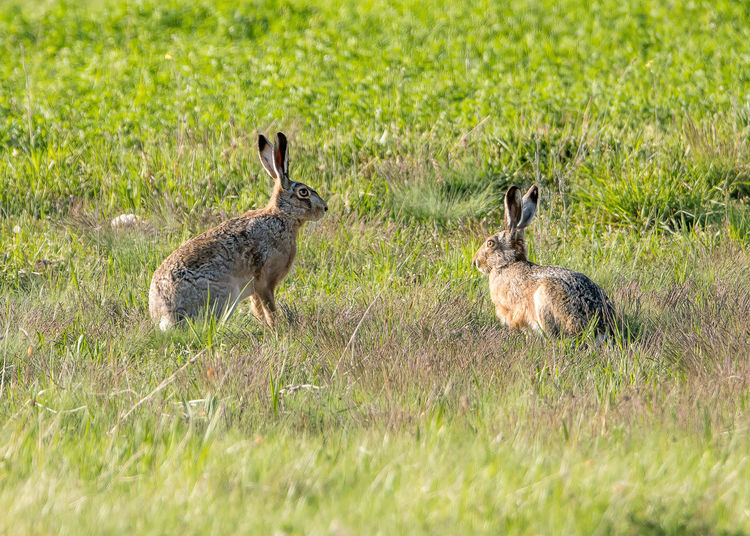 Hare resting on field