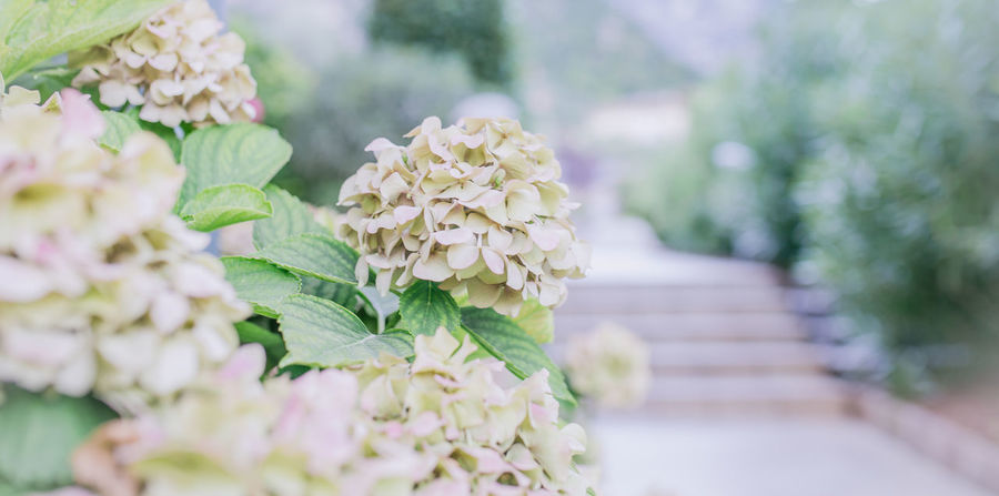 Beauty In Nature Blooming Blossoms  Close-up Flower Flower Head Focus On Foreground Fragility Freshness Garden Flowers Growth Hydrangea Hydrangea In Bloom Hydrangeas Leaf Leaves Nature Pastel Pastel Colors Pastel Colours Pastel Nature Pastel Power Pastels Plant Softness
