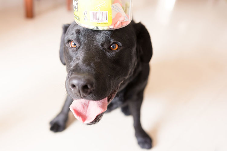 Close-up of labrador carrying dog food in jar