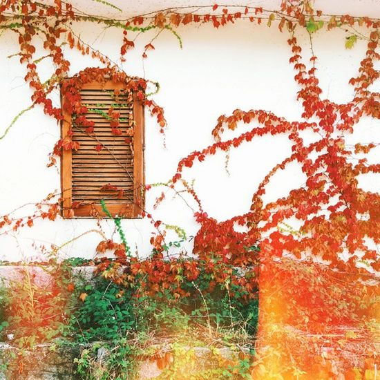 This pic from September 🍁 Autumn Leaves Fall Wooden Window Nature Vegetation Outdoor Vscocam Vscovisual Lighleak Afterlight K2 Amazingcolours Atmosphere Kodachrome Autumn2014 Fall2014 Creeper Ivy Autunno2014 Capovaticano Torremarino Peoplescreative direzione_calabria vvfriday goldenhour wall plants