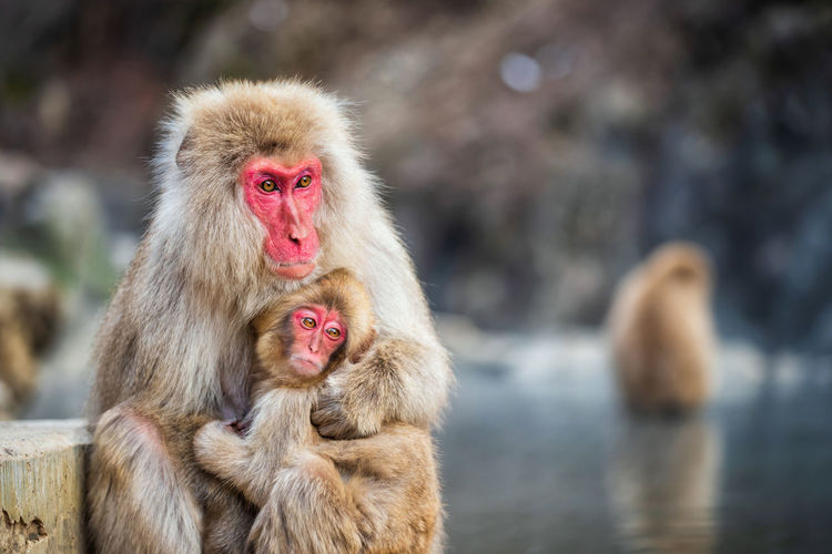 Japanese Snow monkey Macaque mother hug its baby to prevent cold near hot spring pond of Jigokudani Park at winter, Yamanouchi, Nagano, Japan. Famous landmark to see wildlife. Monkey Animal Themes Animal Primate Mammal Animals In The Wild Animal Wildlife Japanese Macaque Vertebrate Focus On Foreground Group Of Animals Day Water Togetherness Hair Outdoors Two Animals Animal Hair No People Animal Family Hot Spring Animal Head  Mother Baby Child Hug Cuddle Cold Temperature Freeze Japan Nagano