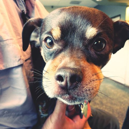 Chiahuaha EyeEm Selects Pets Portrait Dog Looking At Camera Puppy Protruding Close-up