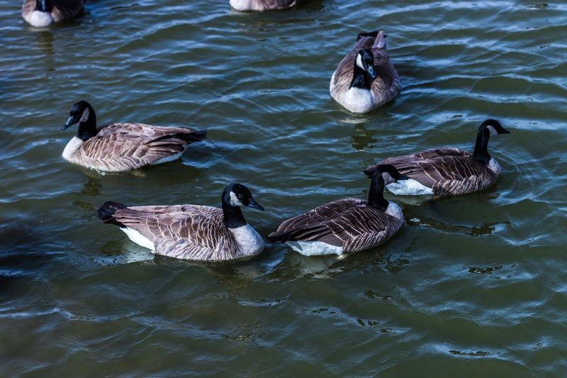 Animals In The Wild Animal Themes Water High Angle View Goose Waterfront Swimming Lake Bird Nature Water Bird Animal Wildlife No People Outdoors Gosling Togetherness Day