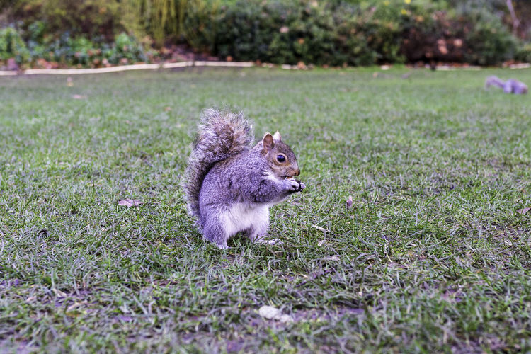 Squirrel on field in st. james park eating a nut