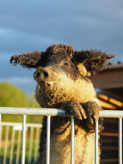 Close-up of pig at farm