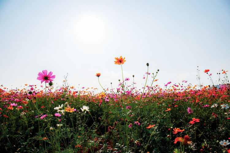 Cosmos with the sunlight at blue sky. ASIA Asian  Autumn Background Beautiful Beauty Bloom Blooming Blossom Blue Botany Bright Color Colorful Cosmos Countryside Environment Field Fields Flora Floral Flower Flowers Fresh Garden Grass Green Landscape Meadow Nature Outdoor Park Pastel Pink Plant Purple Retro Rural Sky Spring Summer Sunlight Sunny Sunrise Sunset Thailand Vintage White Wild Yellow