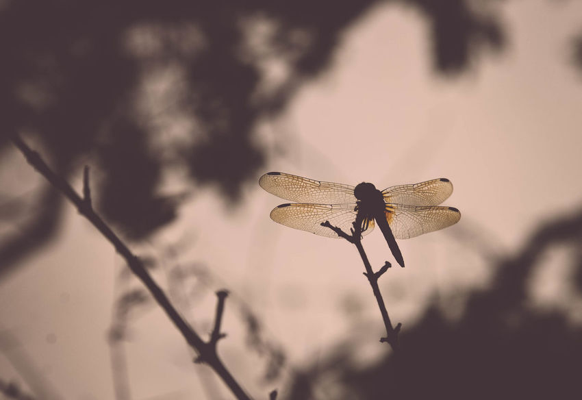 Dragonfly Evening Fragility Insect Insect Photography Nature No People Outdoors Silhouette Simple Beauty