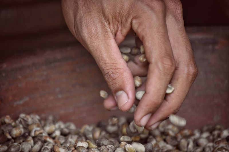 Coffee selecting in Bali Human Hand Hand Human Body Part One Person Adult Finger Human Finger