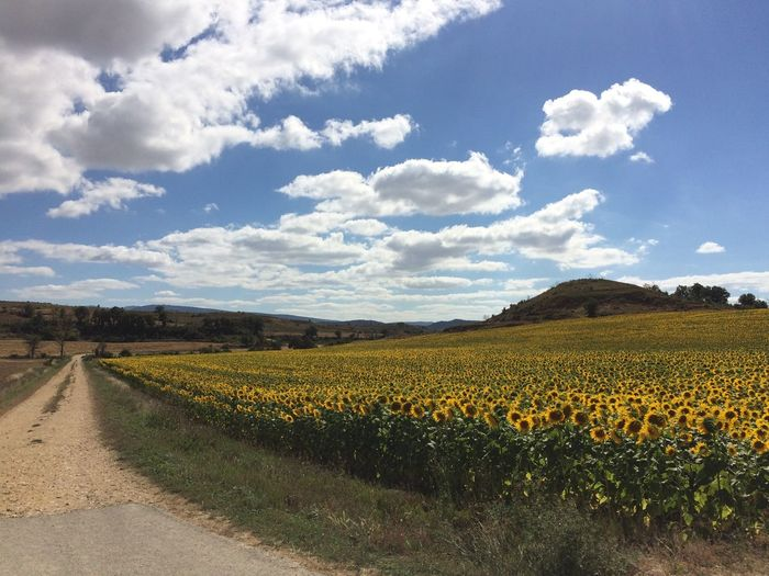 Agriculture Beauty In Nature Cloud - Sky Flower Flower Head Fragility Girasol Growth Landscape Nature No People Outdoors Paisaje Paseando Pueblo Relaxing Rural Rural Scene Scenics Sky Walking Around