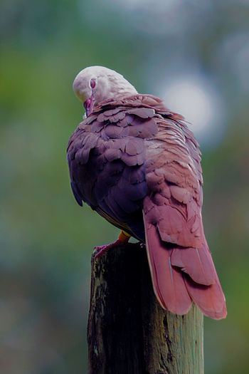 Pink Pigeon Animal Themes Animal Wildlife Animals In The Wild Beauty In Nature Bird Close-up Day Focus On Foreground Macaw Mauritius Nature No People One Animal Outdoors Parrot Perching Tree