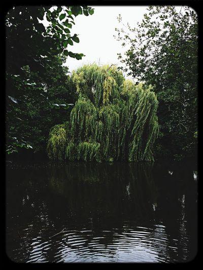 Derbados Weeping Willow Darley Park