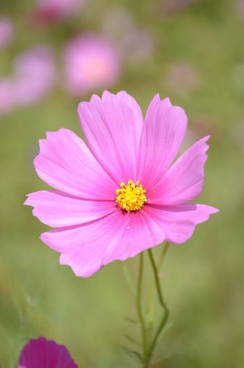 Cosmos Sulphureus Beauty In Nature Bloom Blooming Blooming Flower Close-up Cosmos Flower Day Flower Flower Head Focus On Foreground Fragility Freshness Growth Nature No People Outdoors Petal Pink Color Plant