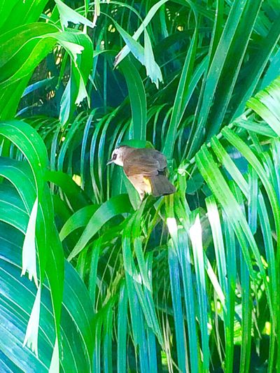 Freshness Outdoors Day Beauty In Nature Plant No People Tranquility Green Color Leaf Tree Palm Tree Bird Bird Singing Phuket,Thailand