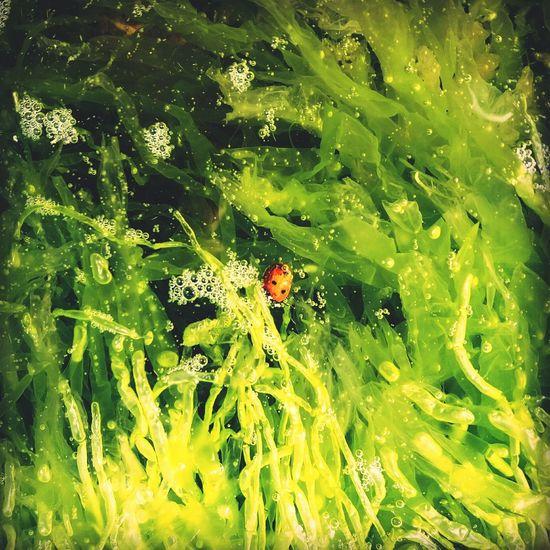Ladybug🐞 Drowned Alga Nature Photography