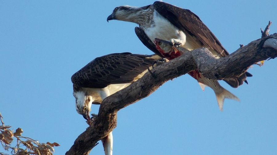 EyeEm Selects Bird Of Prey Bird Perching Vulture Eating Animals Hunting Animal Themes Sky