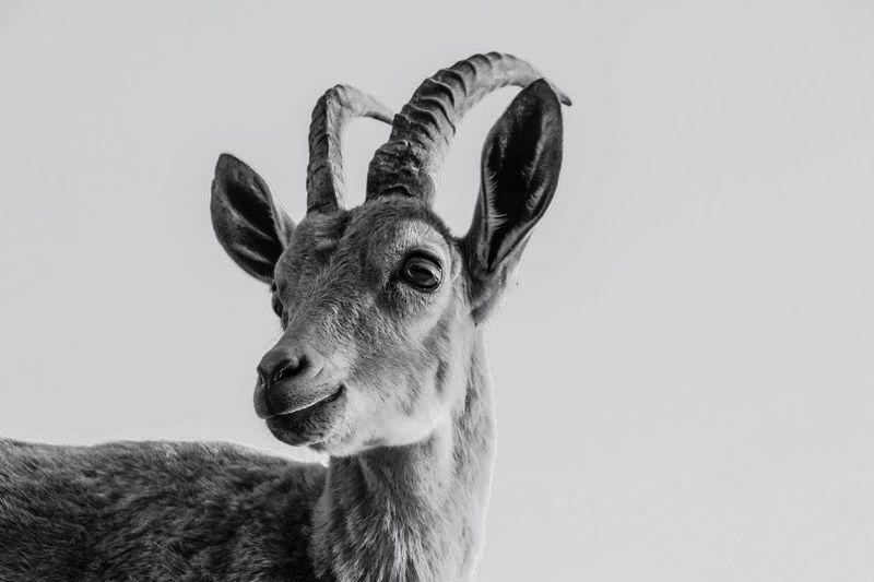 Close-up portrait of deer against clear sky