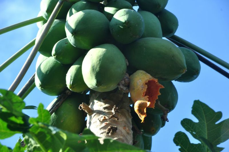 Papaya fruit eaten bats Papaya Papaya Leaf Papaya Tree Papaya Fruit Bats Bat Eat Food Health Fruit Fruit Green Color Low Angle View Tree Food No People Healthy Eating Outdoors Growth Nature Agriculture Day Leaf Sky Close-up