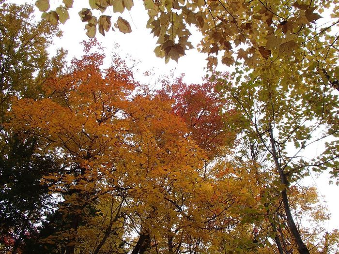 Couleurs d'automne - Fall Foliage Foliage Fall Colors Tree Plant Low Angle View Beauty In Nature Sky No People Growth Tree Canopy  Forest Autumn