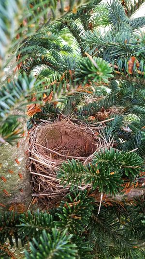 """Legend has it that prosperity will come to any home that finds a bird's nestnestled among the branches of the family Christmas tree."""" - Inge-Glas Bird's Nest Christmas Tree Legendsays No People Day Nature Outdoors Growth Tree Green Color Close-up Beauty In Nature"""