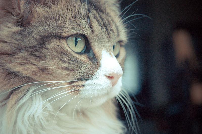 Cat Cat Eyes Cat Portrait