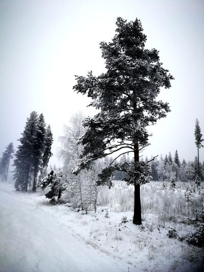 Swedish landscape Winter No People Pinaceae Outdoors Snow Nature Day Sky Landscape Pine Tree Tree Cold Temperature Forest Scenics Beauty In Nature Fog Northern Europe Storm Frozen Weather EyeEmNewHere Christmas Tree Snowing Christmas Tree