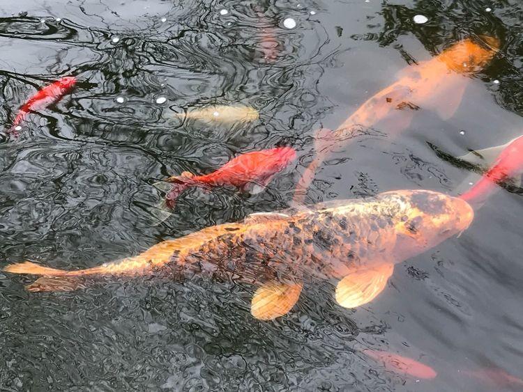 Koi Water Vertebrate Animal Themes Animals In The Wild Animal Animal Wildlife Swimming Carp Koi Carp School Of Fish