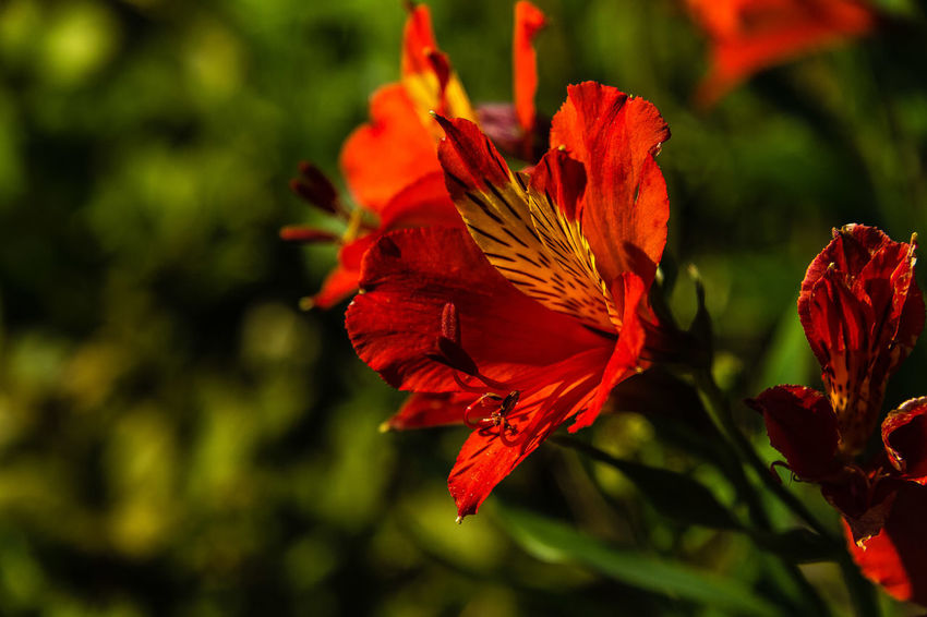 """Alstroemeria 'Flame' will add some ferocious sizzling color to the garden. This red Chilean Lily cultivar typically grows from 12-18"""" tall. If given adequate moisture Alstroemeria Flame will steadily spread by underground rhizomes, Alstromeria plants are quite drought tolerant. http://www.californiagardens.com/Plant_Pages/alstroemeria_flame.htm Green Color Light Yellow Flower Alstromeria Beauty In Nature Bokeh Flower Red Flower"""